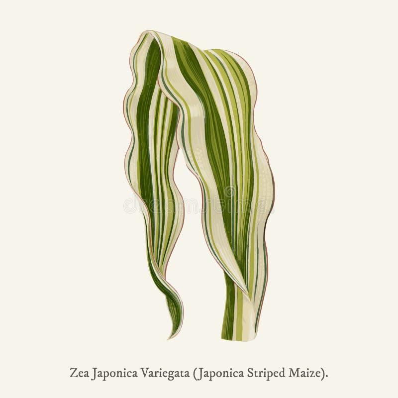 Japonica gjorde randig majszeaen Japonica Variegata som fanns i 1825-1890 nya och sällsynta Härlig-Leaved växtillustrationtecknin royaltyfri illustrationer