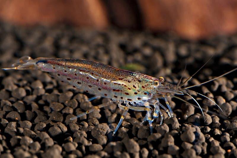 Japonica shrimp. Caridina multidentata, amano shrimp close up royalty free stock photo