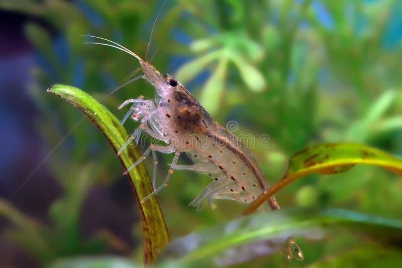 Japonica shrimp. Amano shrimp in aquarium. Caridina japonica royalty free stock photos
