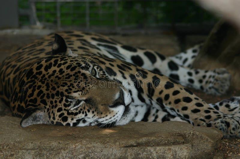 Download Jaquar rusten stock foto. Afbeelding bestaande uit zoogdieren - 32460