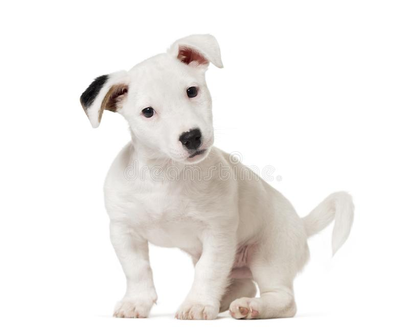 Jaque Russell Terrier do cachorrinho, cão, (8 meses velho), isolado no whi fotografia de stock