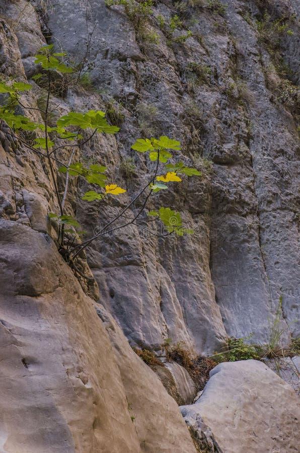 Jar Saklikent, gładkie skały jar ściany, iluminować ranku słońcem z figa krzakiem obrazy stock