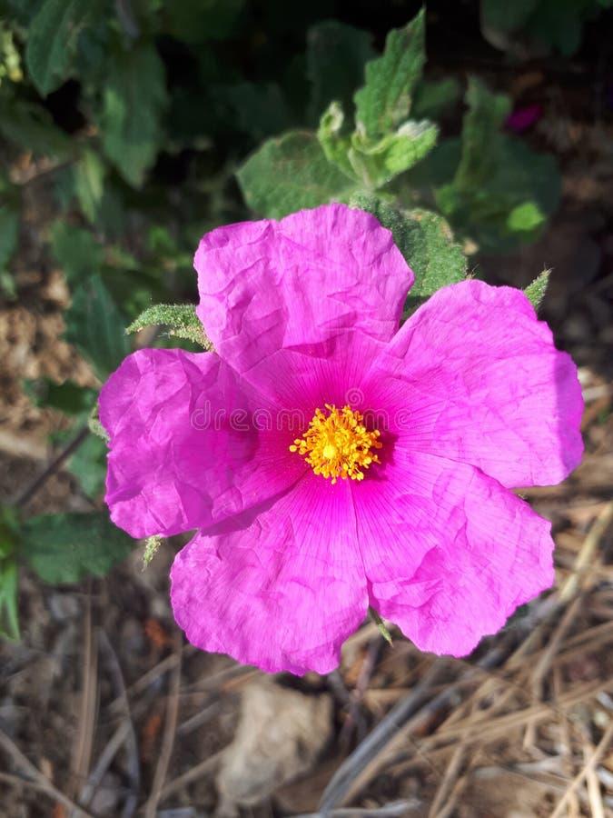 Jara flower royalty free stock images