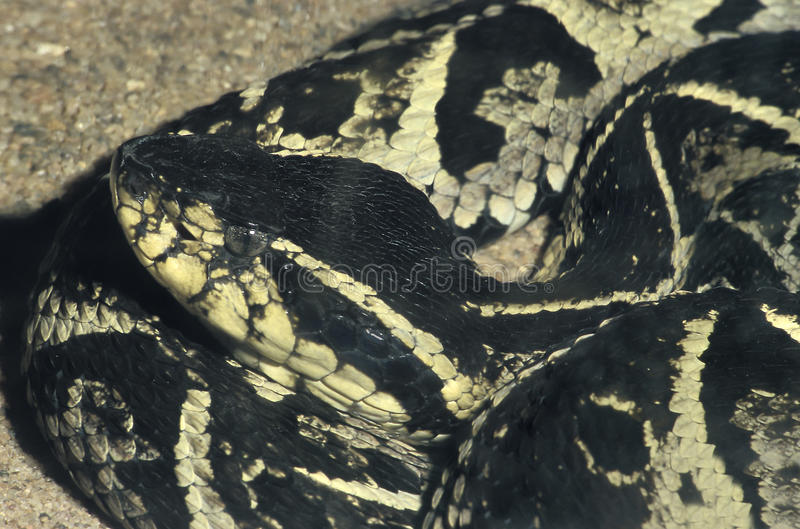 Jararacussu, ένας μεγάλος και πολύ δηλητηριώδης νότος - αμερικανικό φίδι στοκ φωτογραφίες με δικαίωμα ελεύθερης χρήσης