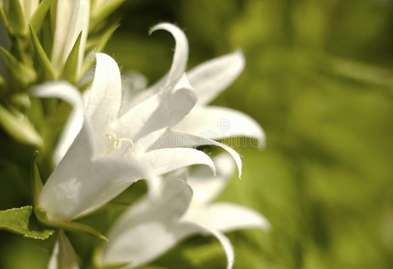 jardín al aire libre del fondo del bokeh del verde del primer del bellflower de la flor blanca fotografía de archivo libre de regalías