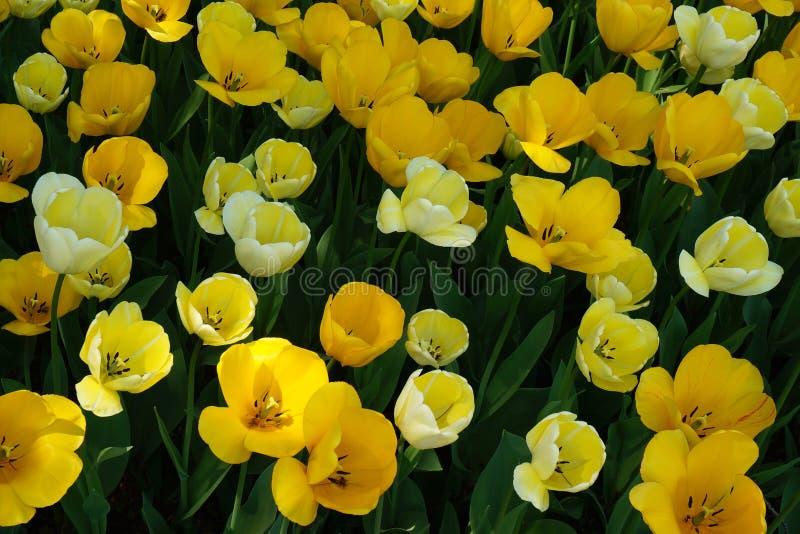 Jardín amarillo de los tulipanes fotos de archivo