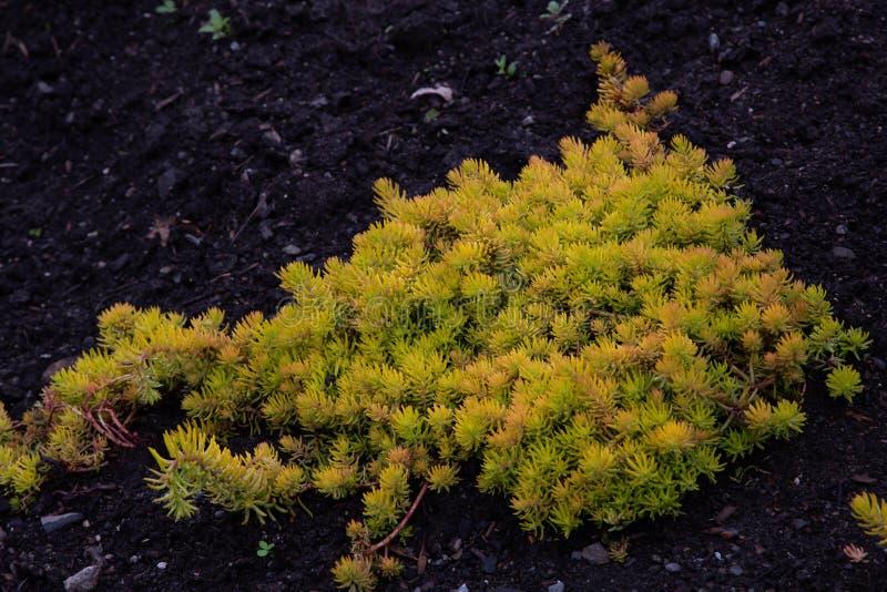 Jardín amarillo del Crassulaceae del amortiguador del rupestre de Sedum de la uva de gato de Orpin imagen de archivo libre de regalías