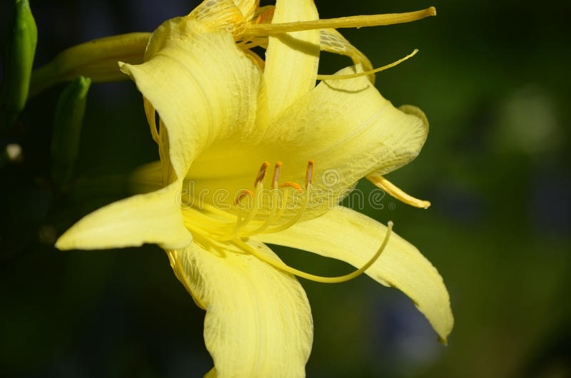 Jardín bonito con un Daylily amarillo floreciente imagenes de archivo