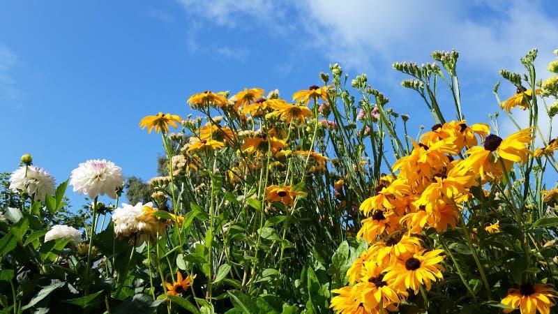 Jardín botánico del verano con el girasol mexicano y la dalia foto de archivo