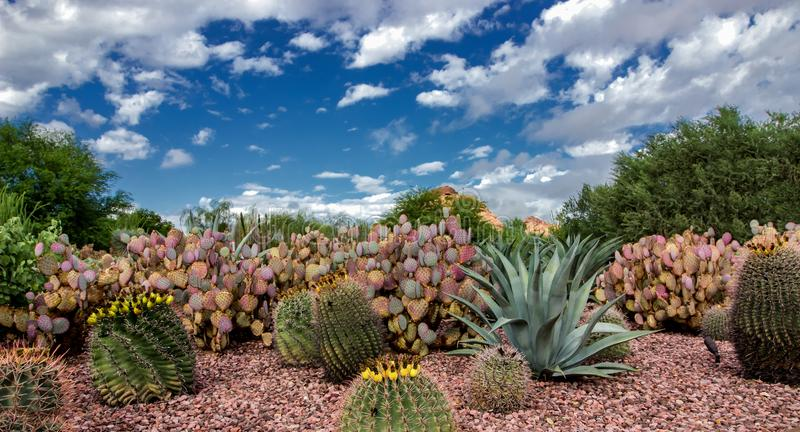 Jardín botánico Phoenix Az del desierto del cactus de Cholla imágenes de archivo libres de regalías