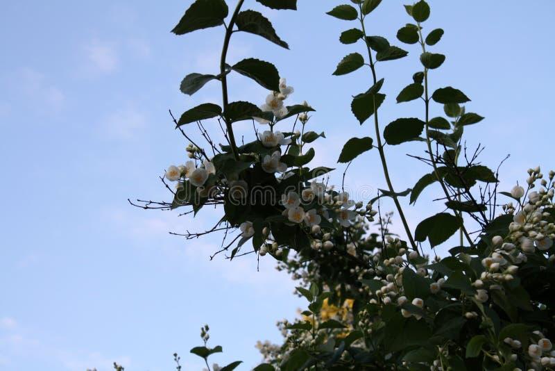 Jardín Campo del jardín Florecimiento de la primavera Jazmín imágenes de archivo libres de regalías