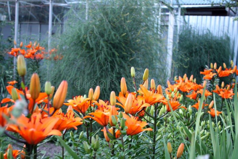 Jardín Campo del jardín Florecimiento de la primavera lirios foto de archivo libre de regalías
