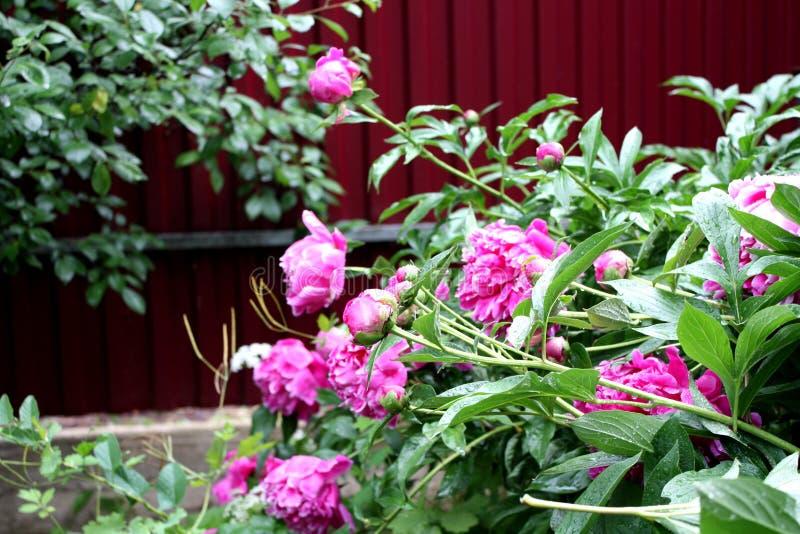 Jardín Campo del jardín Florecimiento de la primavera peonies fotos de archivo