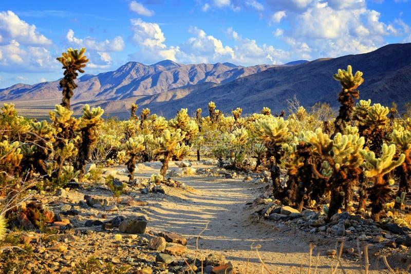 Jardín cerca de la puesta del sol, Joshua Tree National Park del cactus de Cholla imagen de archivo