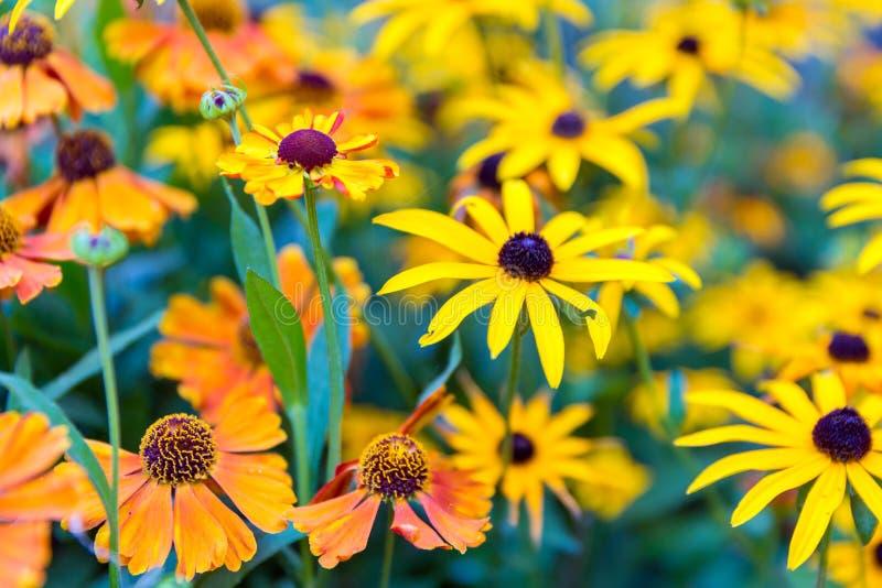 Jardín colorido con el helenium anaranjado y el rudbeckia amarillo fotos de archivo libres de regalías