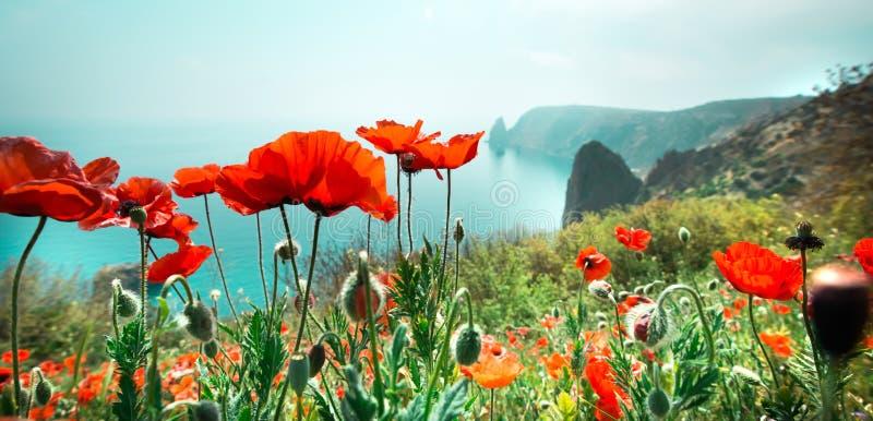Jardín con las flores de la amapola fotos de archivo libres de regalías
