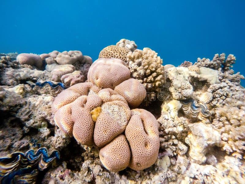 Jardín coralino en el Mar Rojo, Marsa Alam, Egipto fotos de archivo