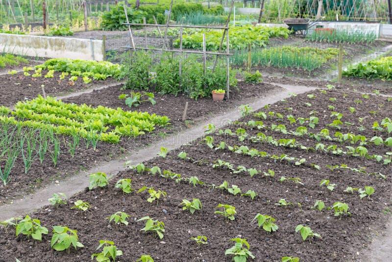 Jardín de asignación en primavera con las patatas y las cebollas foto de archivo