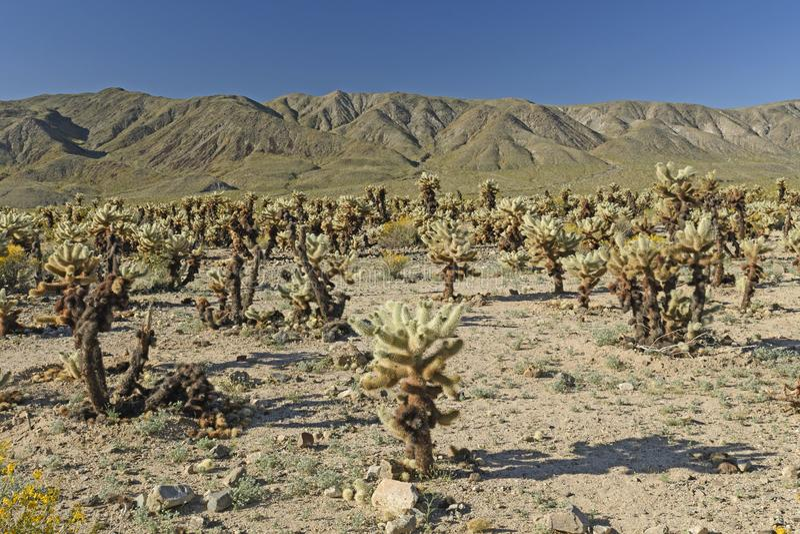 Jardín de Cholla en el desierto imagen de archivo libre de regalías