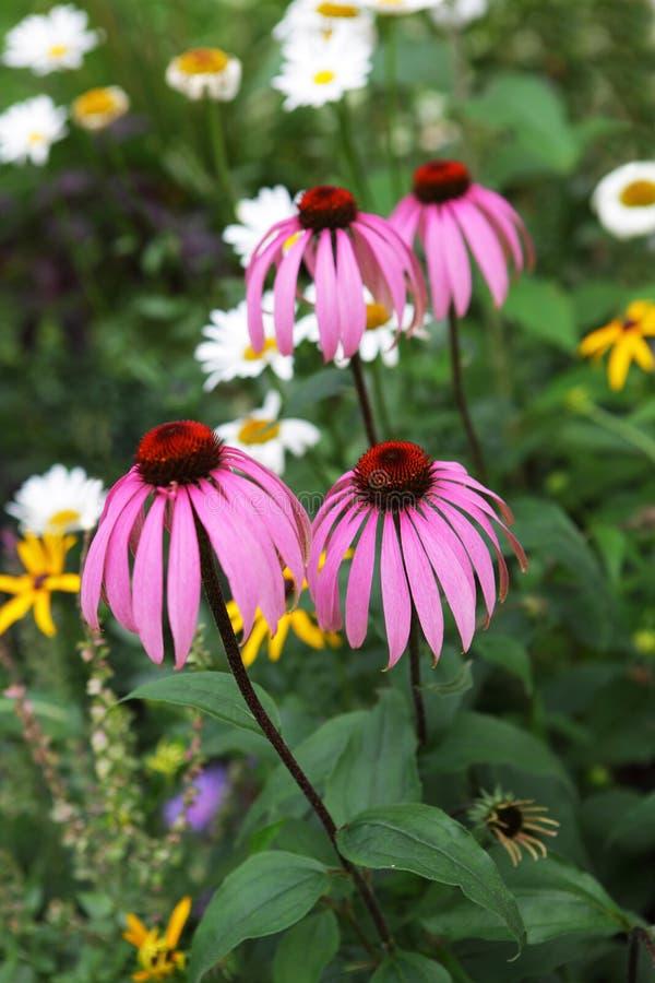 Jardín de Coneflower imagenes de archivo