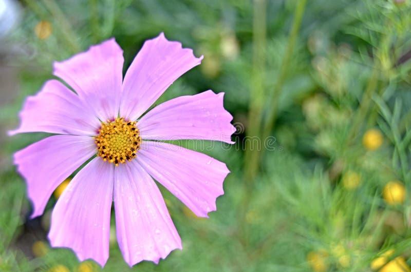Jardín de Cosmea Flores y verdes del verano imagen de archivo