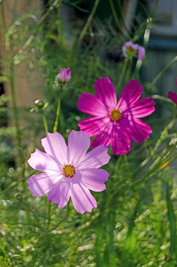 Jardín de Cosmea Flores y verdes del verano imágenes de archivo libres de regalías