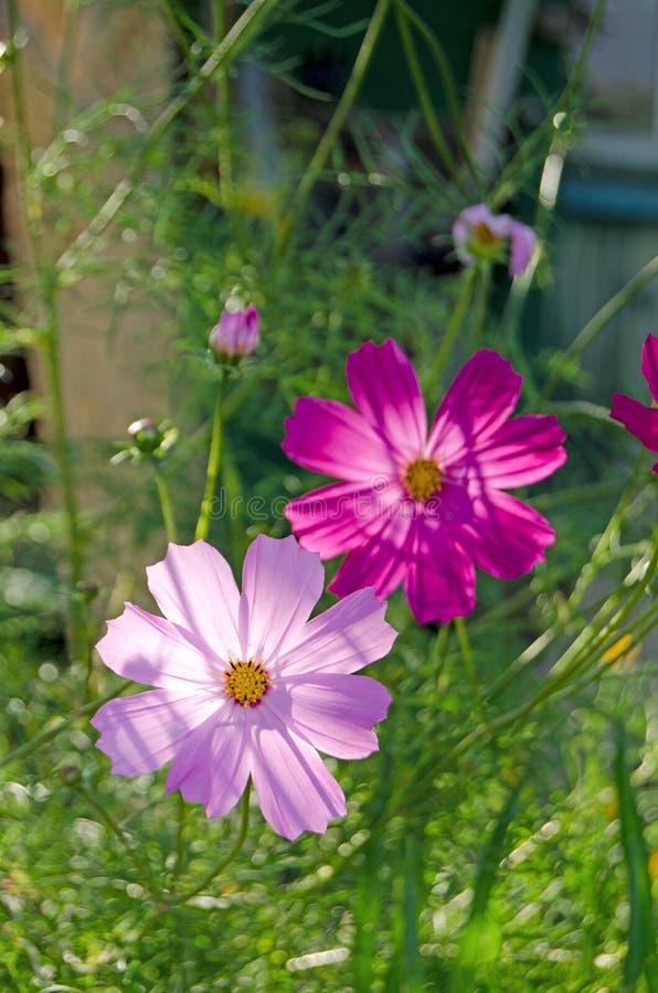 Jardín de Cosmea Flores y verdes del verano fotos de archivo