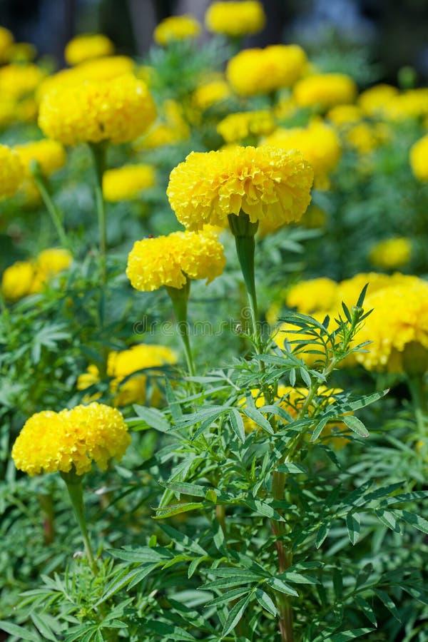 Jardín de flor de la maravilla foto de archivo libre de regalías