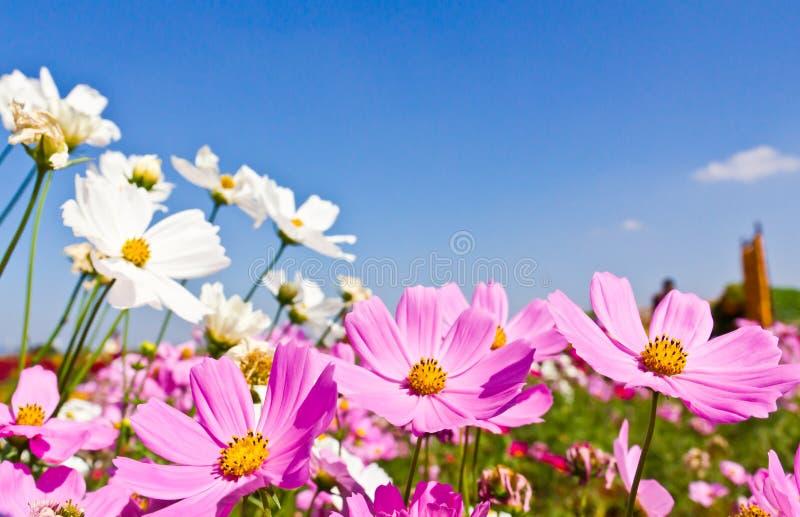 Jardín de flor del cosmos foto de archivo