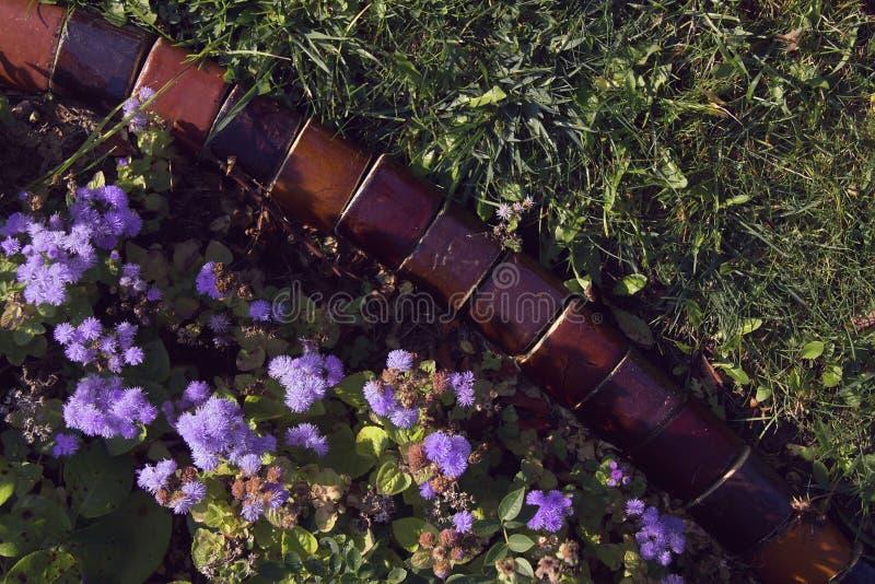 Jardín de flores con las flores violetas del Ageratum Houstonianum imagen de archivo libre de regalías