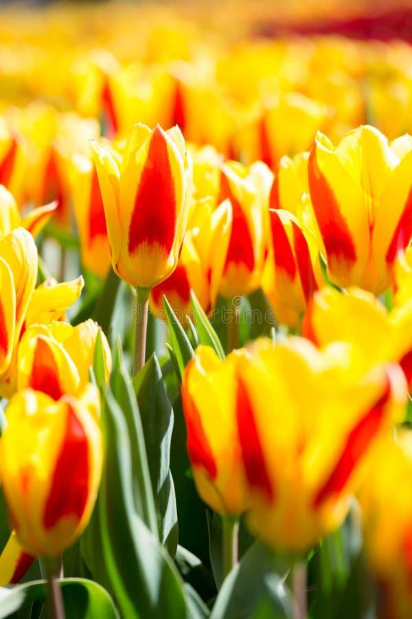 Jardín de flores de los tulipanes fotografía de archivo libre de regalías