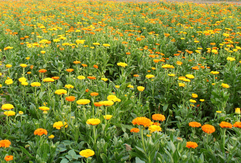 Jardín de flores del crisantemo fotografía de archivo