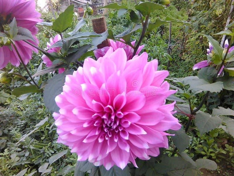 Jardín de flores hermoso rosado frondoso imagen de archivo libre de regalías