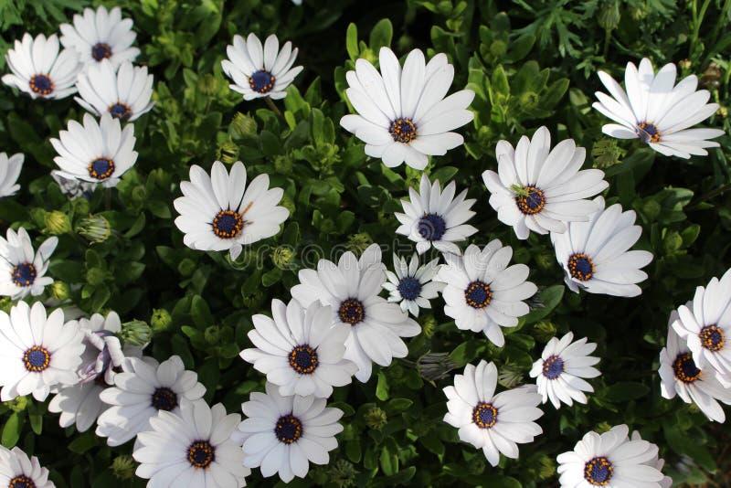 Jardín de flores integrado por la margarita blanca fotos de archivo