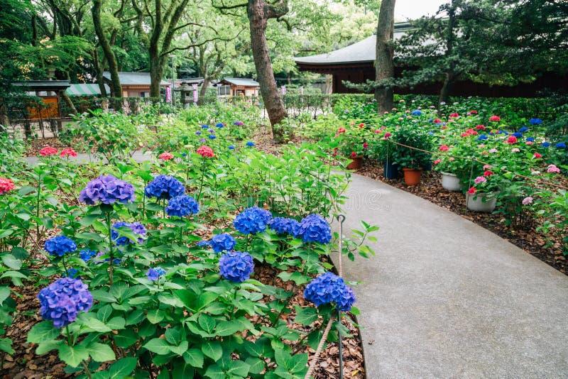 Jardín de flores de la hortensia en la capilla de Hakozakigu Hakozaki en Fukuoka, Japón imagen de archivo