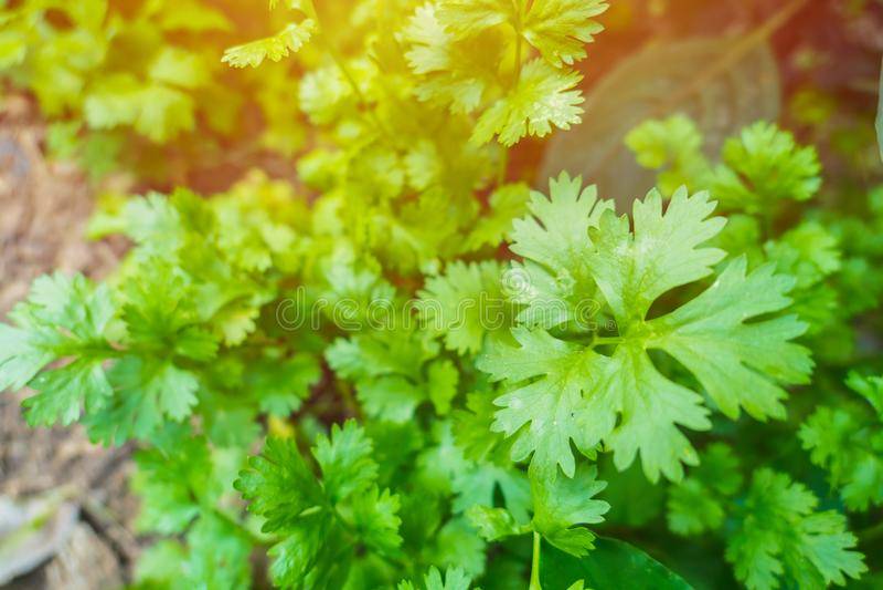 Jardín de hierbas fresco de la planta de coriandro en casa fotografía de archivo