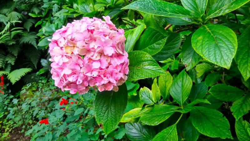 Jardín de Hydrangea, Company, Mussoorie foto de archivo