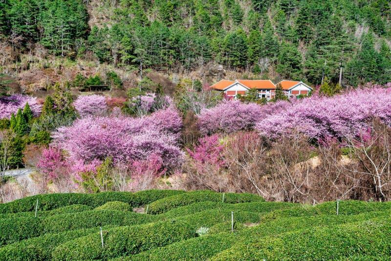 Jardín de la cereza y de té en Taiwán foto de archivo libre de regalías
