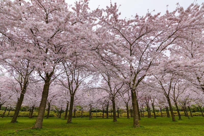Jardín de la flor de cerezo de la primavera en Amstelveen fotos de archivo