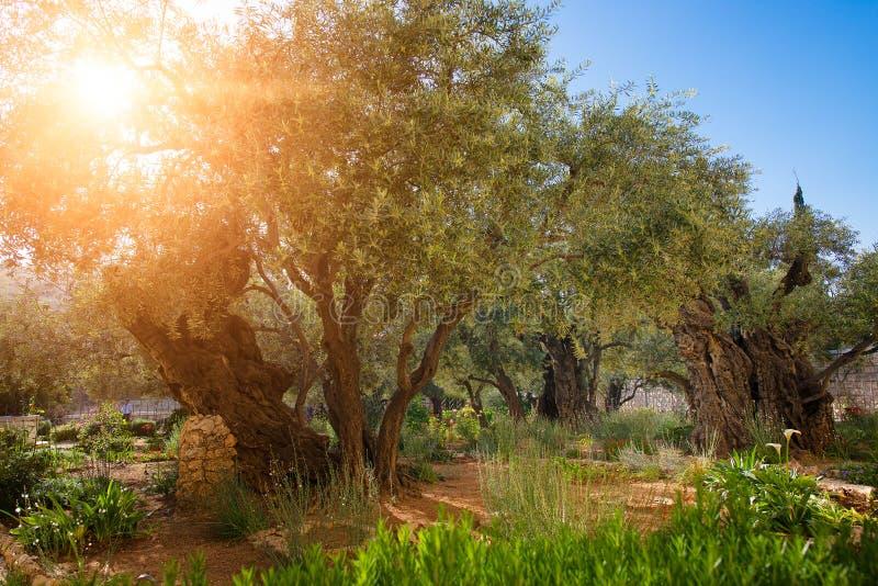 Jardín de la huerta de la aceituna de Gethsemane foto de archivo