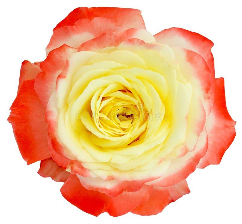 Jardín de la luz de la rosa del rojo aislado fotografía de archivo