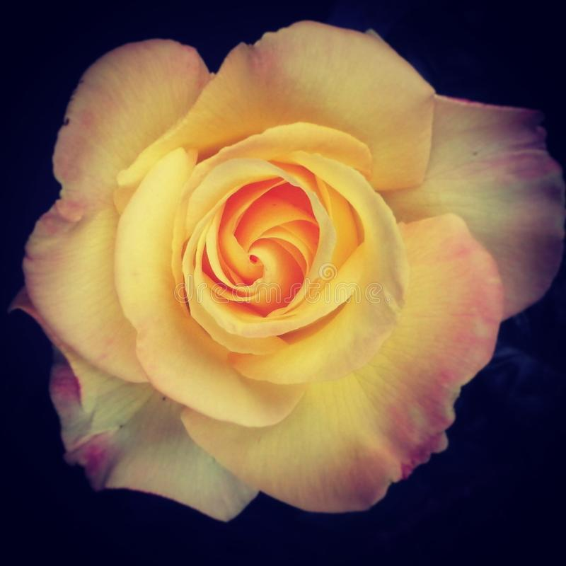 Jardín de la macro del amarillo de la rosa de la flor imágenes de archivo libres de regalías