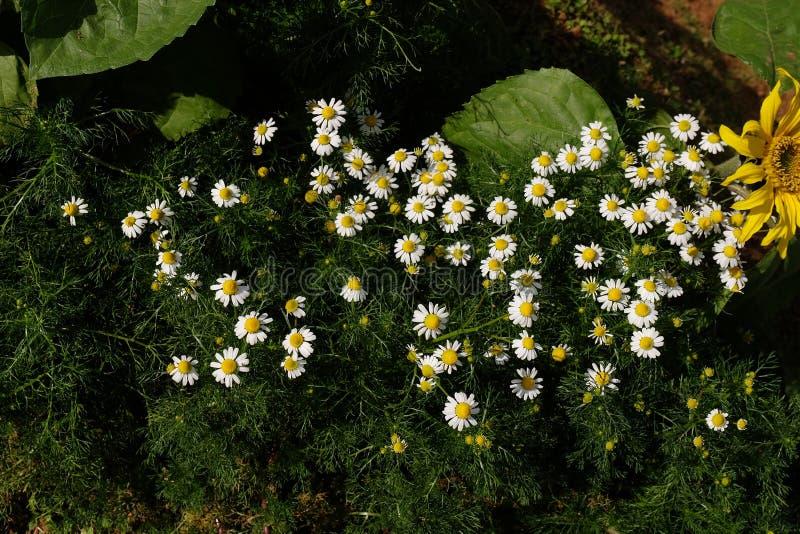 Jardín de la manzanilla/flores blancas de la margarita alemana de la manzanilla imagen de archivo