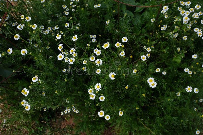 Jardín de la manzanilla/flores blancas de la margarita alemana de la manzanilla foto de archivo