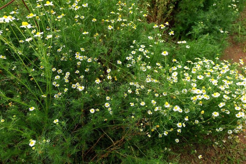 Jardín de la manzanilla/flores blancas de la margarita alemana de la manzanilla fotos de archivo