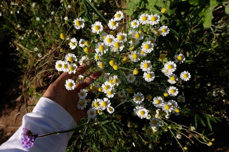 Jardín de la manzanilla/flores blancas de la margarita alemana de la manzanilla foto de archivo libre de regalías