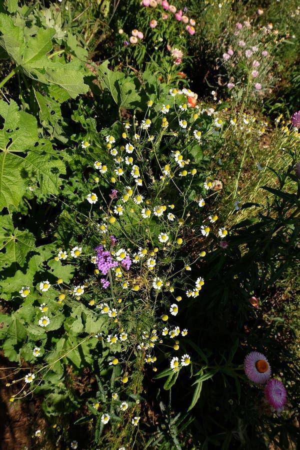 Jardín de la manzanilla/flores blancas de la margarita alemana de la manzanilla imágenes de archivo libres de regalías