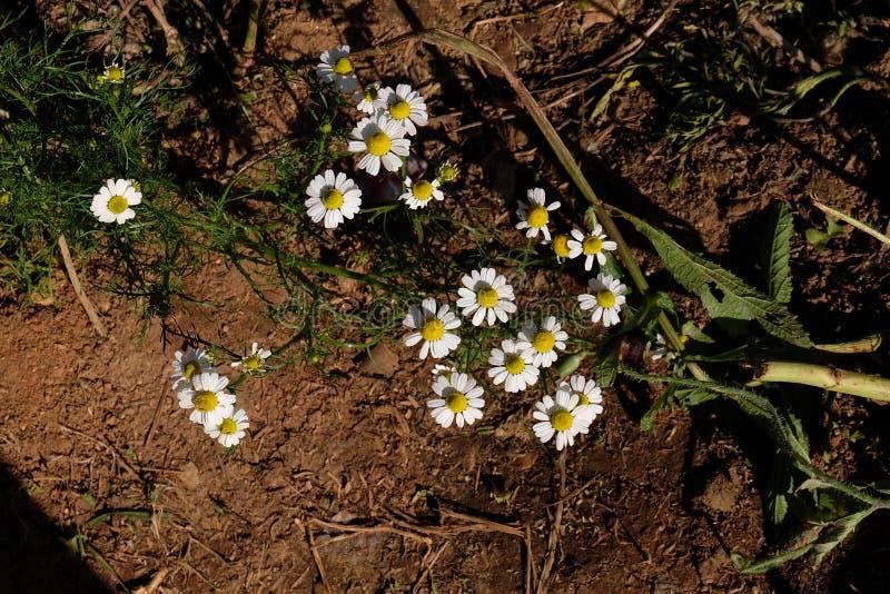 Jardín de la manzanilla/flores blancas de la margarita alemana de la manzanilla fotografía de archivo libre de regalías