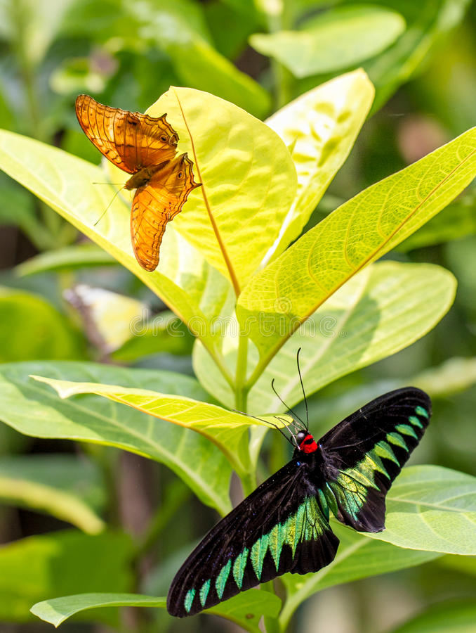 Jardín de la mariposa con el rajá Brooke y el crucero imagen de archivo