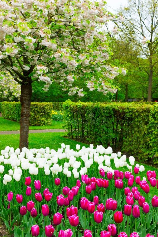 Jardín de la primavera con los tulipanes florecientes del abd del árbol imagen de archivo libre de regalías